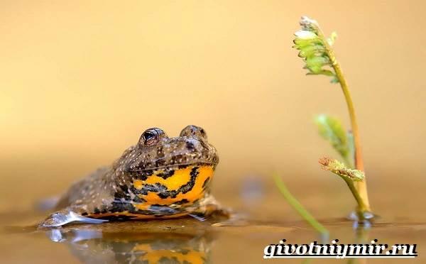 Жерлянка-животное-Образ-жизни-и-среда-обитания-жерлянки-1