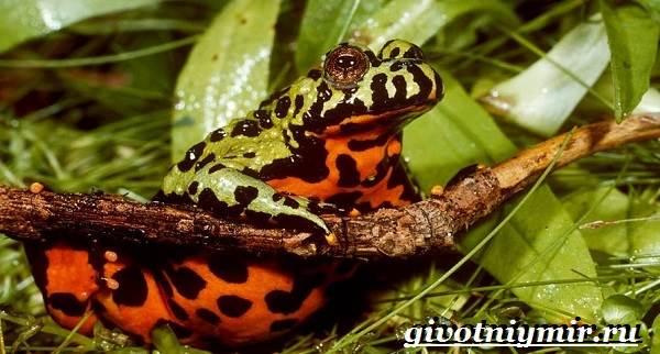 Жерлянка-животное-Образ-жизни-и-среда-обитания-жерлянки-2