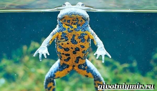 Жерлянка-животное-Образ-жизни-и-среда-обитания-жерлянки-3