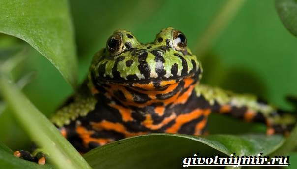 Жерлянка-животное-Образ-жизни-и-среда-обитания-жерлянки-4