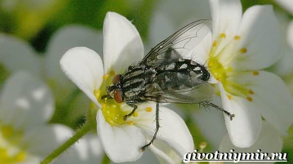 Жигалка-муха-Образ-жизни-и-среда-обитания-жигалки-1