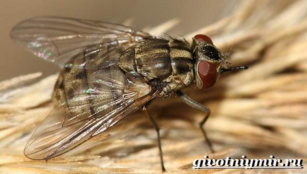 Жигалка-муха-Образ-жизни-и-среда-обитания-жигалки-2