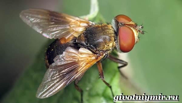 Жигалка-муха-Образ-жизни-и-среда-обитания-жигалки-6