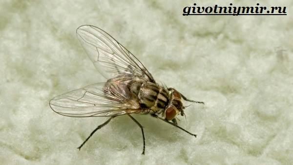 Жигалка-муха-Образ-жизни-и-среда-обитания-жигалки-7