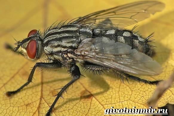 Жигалка-муха-Образ-жизни-и-среда-обитания-жигалки-8