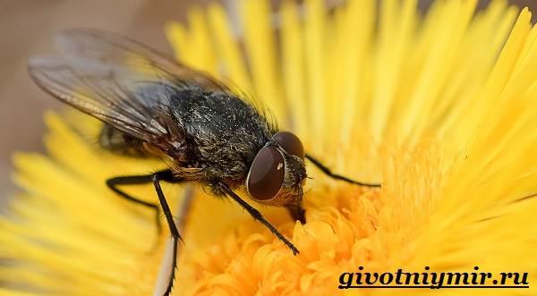 Жигалка-муха-Образ-жизни-и-среда-обитания-жигалки-9