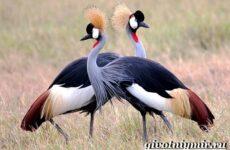 Журавль птица. Образ жизни и среда обитания журавля
