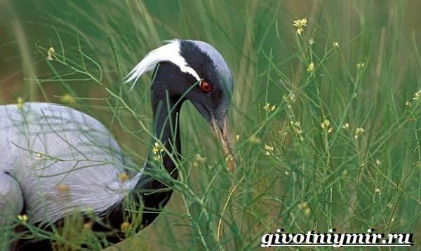 Журавль-птица-Образ-жизни-и-среда-обитания-журавля-7