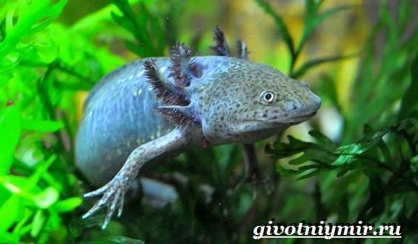 Аксолотль-животное-Образ-жизни-и-среда-обитания-аксолотля-4