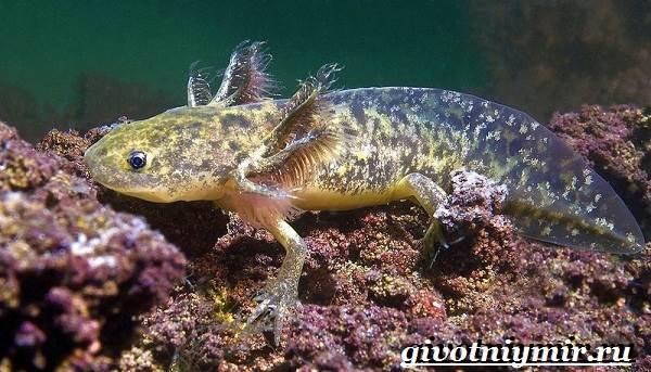 Аксолотль-животное-Образ-жизни-и-среда-обитания-аксолотля-5