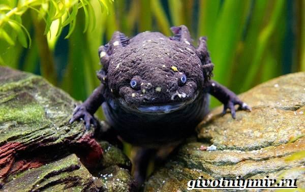Аксолотль-животное-Образ-жизни-и-среда-обитания-аксолотля-7