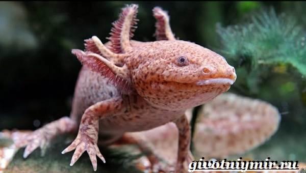 Аксолотль-животное-Образ-жизни-и-среда-обитания-аксолотля-8