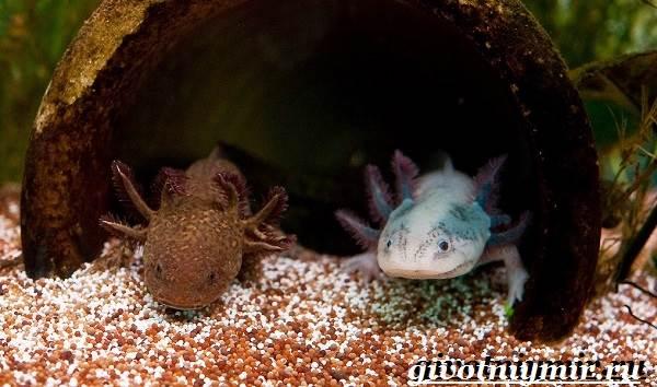 Аксолотль-животное-Образ-жизни-и-среда-обитания-аксолотля-9