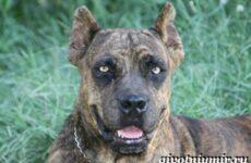 Алано собака. Описание, особенности, уход и цена собаки алано
