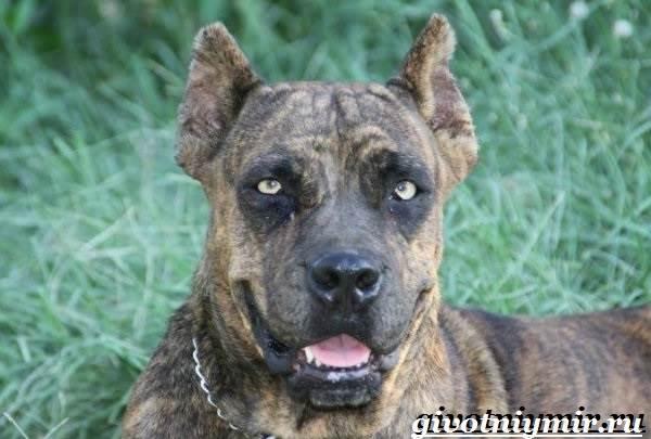 Алано-собака-Описание-особенности-уход-и-цена-собаки-алано-1
