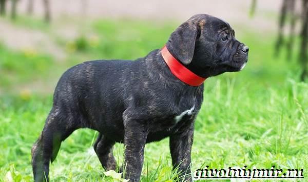 Алано-собака-Описание-особенности-уход-и-цена-собаки-алано-10