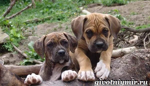 Алано-собака-Описание-особенности-уход-и-цена-собаки-алано-9