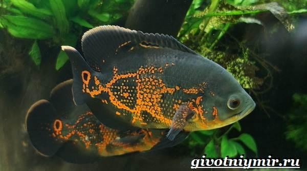 Астронотус-рыба-Описание-особенности-уход-и-цена-рыбы-астронотус-1