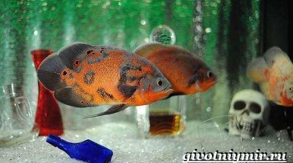 Астронотус-рыба-Описание-особенности-уход-и-цена-рыбы-астронотус-11