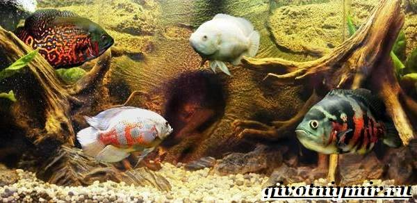 Астронотус-рыба-Описание-особенности-уход-и-цена-рыбы-астронотус-2
