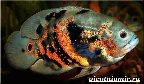 Астронотус-рыба-Описание-особенности-уход-и-цена-рыбы-астронотус-3