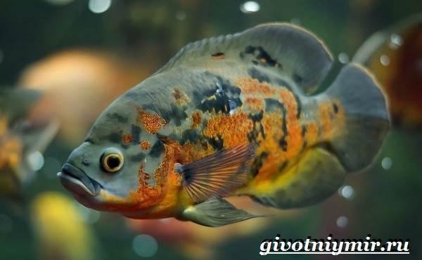 Астронотус-рыба-Описание-особенности-уход-и-цена-рыбы-астронотус-4