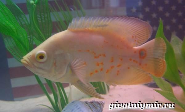 Астронотус-рыба-Описание-особенности-уход-и-цена-рыбы-астронотус-5
