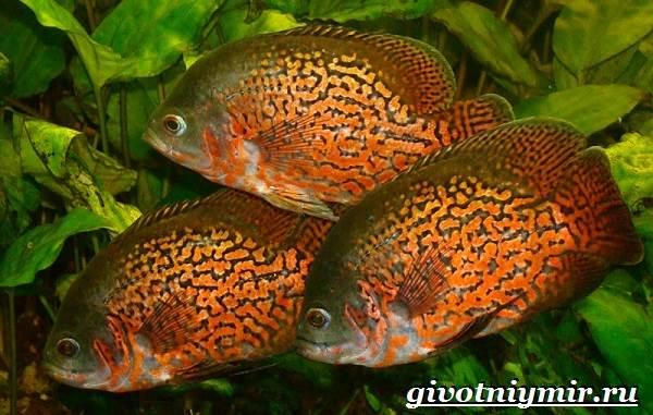 Астронотус-рыба-Описание-особенности-уход-и-цена-рыбы-астронотус-6