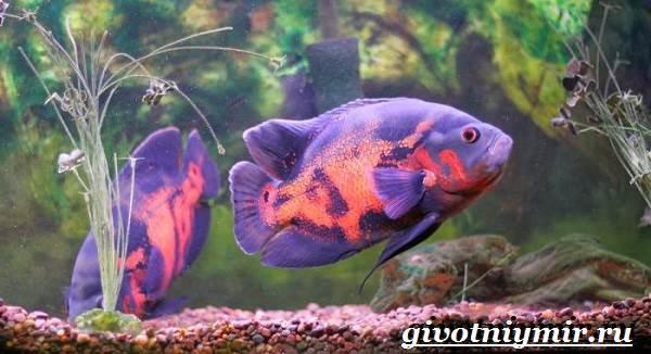 Астронотус-рыба-Описание-особенности-уход-и-цена-рыбы-астронотус-9