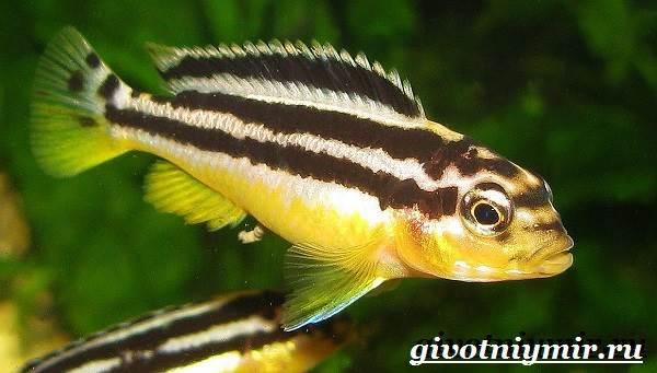 Ауратус-рыба-Описание-особенности-содержание-и-цена-ауратуса-1