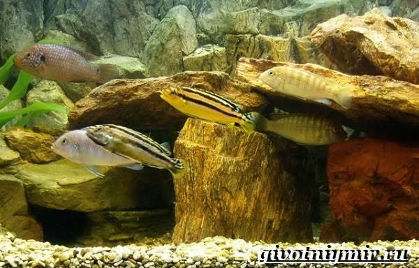 Ауратус-рыба-Описание-особенности-содержание-и-цена-ауратуса-10