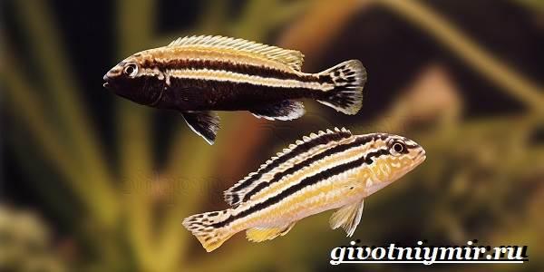 Ауратус-рыба-Описание-особенности-содержание-и-цена-ауратуса-3
