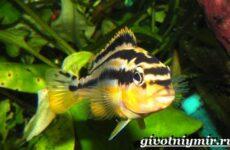 Ауратус рыба. Описание, особенности, содержание и цена ауратуса