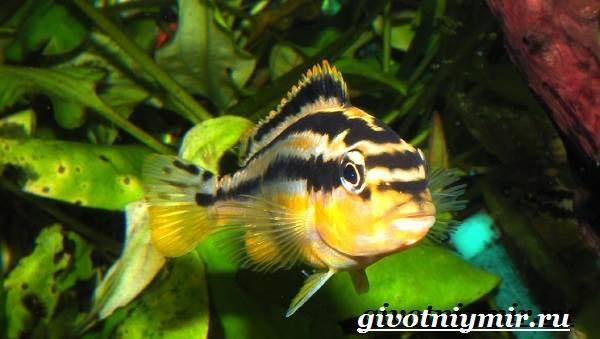 Ауратус-рыба-Описание-особенности-содержание-и-цена-ауратуса-4