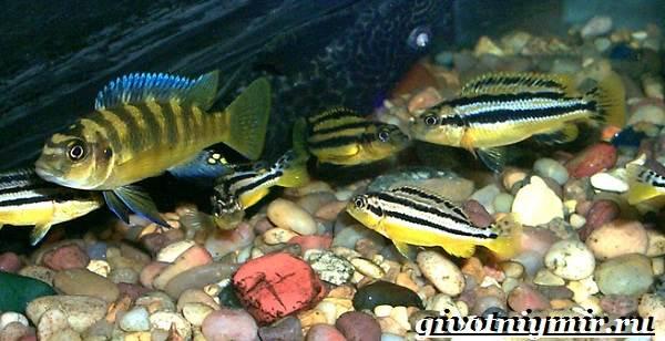 Ауратус-рыба-Описание-особенности-содержание-и-цена-ауратуса-5