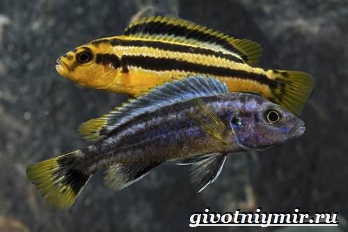 Ауратус-рыба-Описание-особенности-содержание-и-цена-ауратуса-7