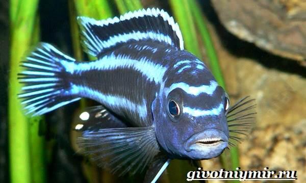 Ауратус-рыба-Описание-особенности-содержание-и-цена-ауратуса-8