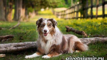 Аусси собака. Описание, особенности, уход и цена собаки аусси