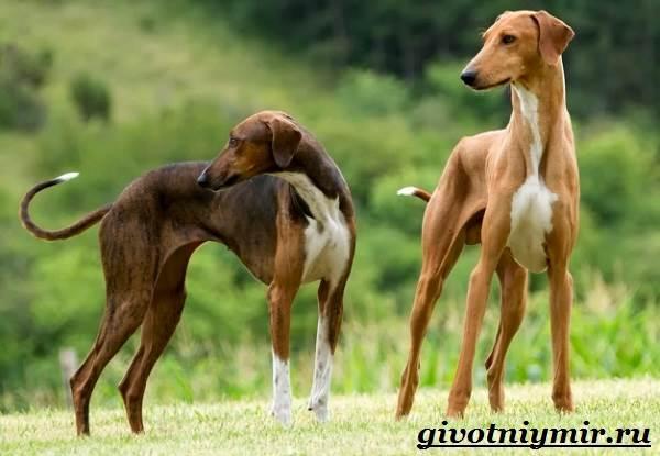 Азавак-собака-Описание-особенности-уход-и-цена-азавака-2