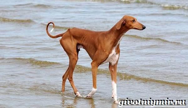 Азавак-собака-Описание-особенности-уход-и-цена-азавака-3