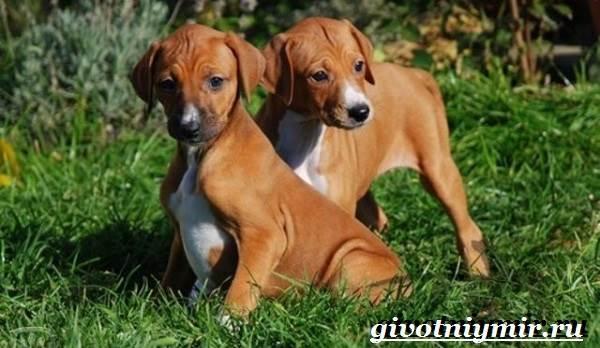 Азавак-собака-Описание-особенности-уход-и-цена-азавака-5