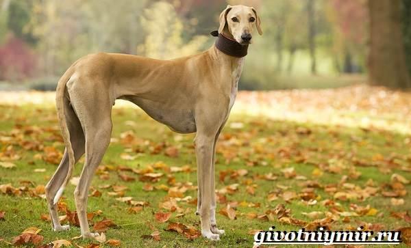 Азавак-собака-Описание-особенности-уход-и-цена-азавака-6