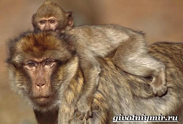 Бабуин-обезьяна-Образ-жизни-и-среда-обитания-бабуина-1