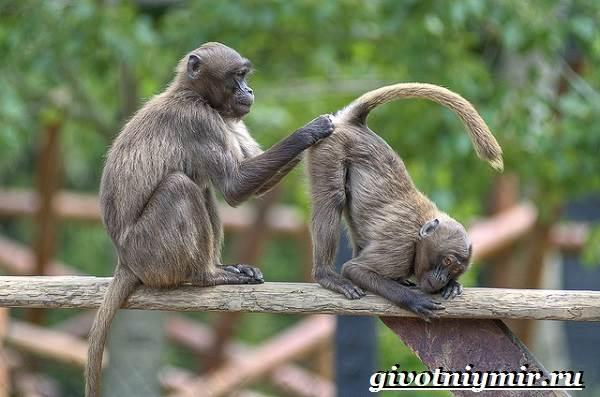 Бабуин-обезьяна-Образ-жизни-и-среда-обитания-бабуина-2