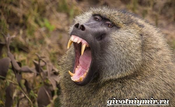 Бабуин-обезьяна-Образ-жизни-и-среда-обитания-бабуина-3