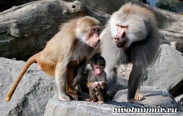 Бабуин-обезьяна-Образ-жизни-и-среда-обитания-бабуина-4