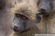Бабуин обезьяна. Образ жизни и среда обитания бабуина