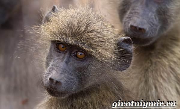 Бабуин-обезьяна-Образ-жизни-и-среда-обитания-бабуина-5