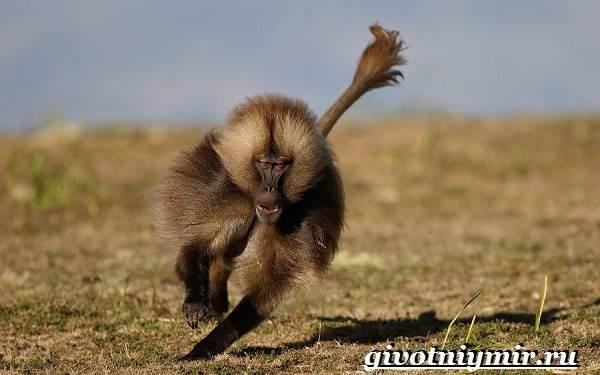Бабуин-обезьяна-Образ-жизни-и-среда-обитания-бабуина-6