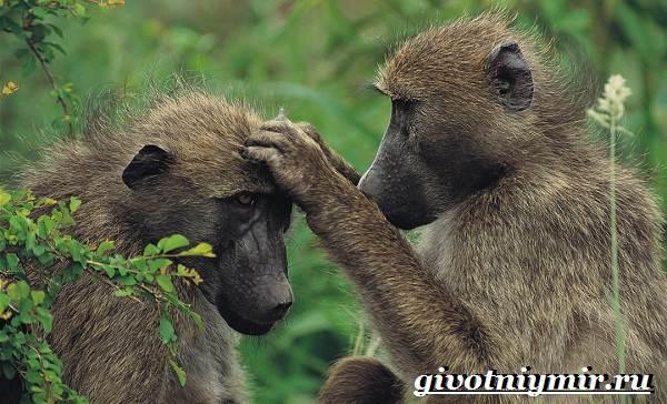 Бабуин-обезьяна-Образ-жизни-и-среда-обитания-бабуина-7